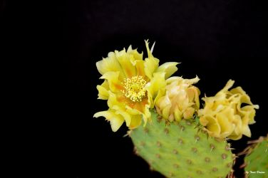 003+ Prickly Pear Blossom by JustmeTD