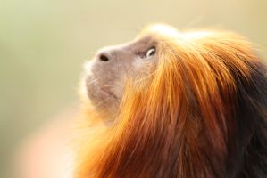 Golden headed lion Tamarin by Nolw
