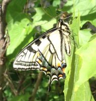Eastern Tiger Swallowtail Butterfly 3 by cyborgparanoia
