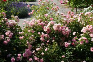 Roses By Cindysart-stock by CindysArt-Stock