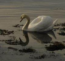 Swan - 26 by LunaNYXstock