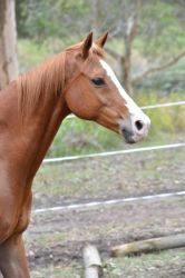 Chestnut Horse Front Body Shot - Moving 2 by Dawn-Photography5