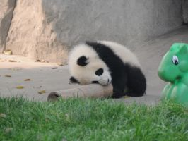 Another baby panda by Mualig