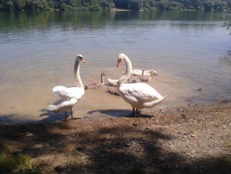 July #10 Another swans by Kinderka15