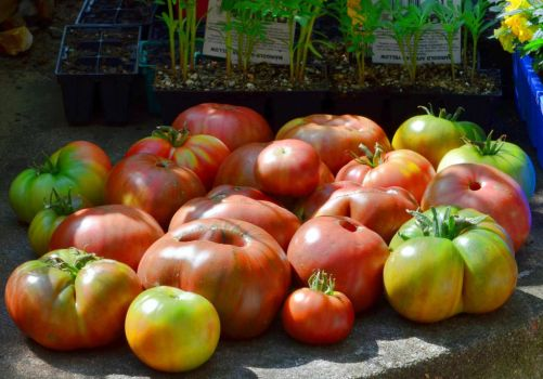 Black Russian Tomatoes by t35t05tr0n3