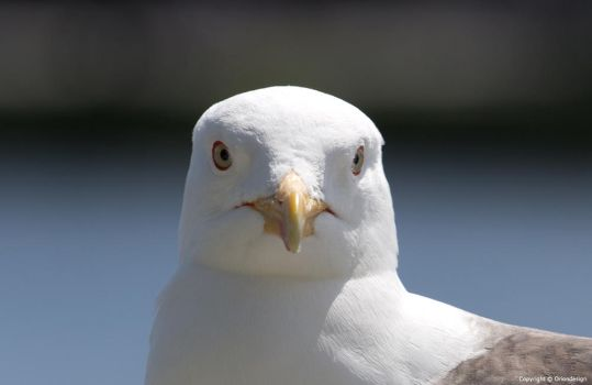Seagull looking at me by oriondesignnorway