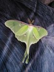 Luna Moth by Xxwoot1234xX