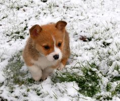 Snow Corgi Pup 2 by InADream