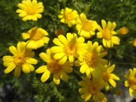 Yellow Daisies by GudServo