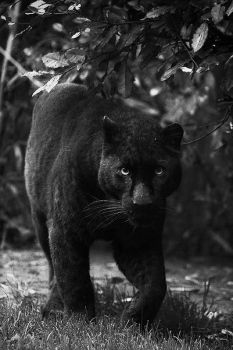 Black Panther by Opium-for-breakfast