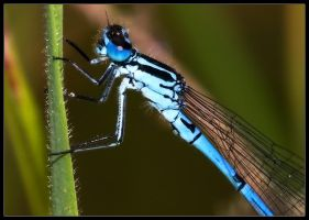 Blue Damselfly Close Up by Wivelrod