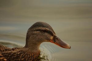 Female Duck at the lake by LoveForDetails