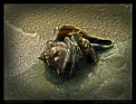 Hermit Crab Overcomes Shyness