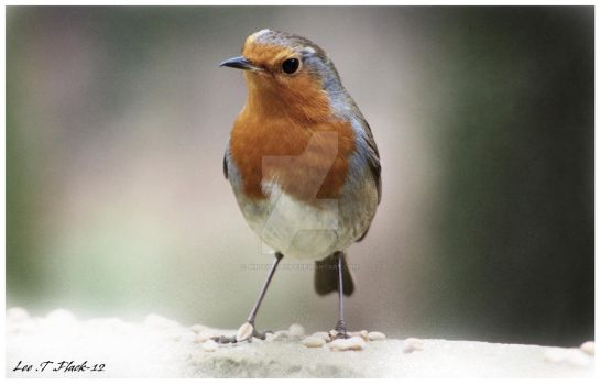Robin in the snow by photoflacky