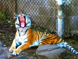 Yawning Tiger by Busted-Love