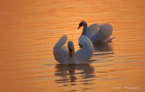 swan romance 15 by MT-Photografien