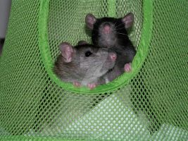 Rats 2 by Readsway2much