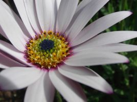 Osteospermum sunshine by KateHodges