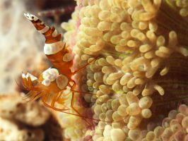 The sexy Shrimp by FlorianHebel