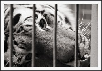 Tiger in a Cage 1 by secondclaw