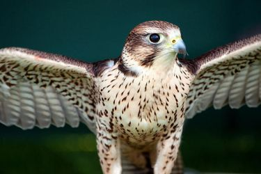 Peregrine by taffmeister