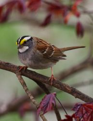 White Throated Sparrow in May by barcon53