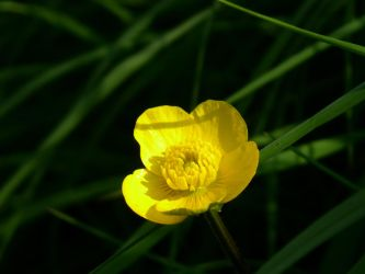 Buttercup 01 by Zayfod