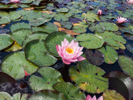 Stock Waterlily 4 by Inilein