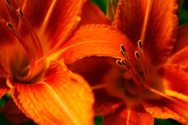 Tiger Lily by MelittaMarie