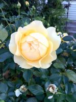 Bright yellow rose 0196 in Holyoke MA by caspercrafts