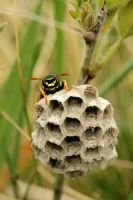 Mother wasp/guardian of the larvae by blackasmodeus