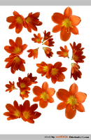 PACK clivia - STOCK by resMENSA