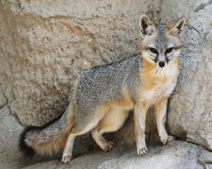 Proud Grey Fox by Jack-13
