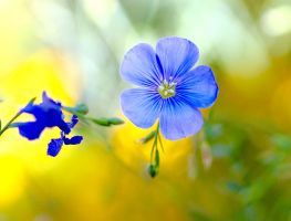 Blue Flax Flower by Monkeystyle3000