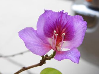 Bauhinia blakeana Hong kong orchid, last. by Kittery