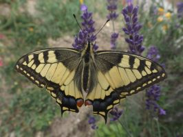 Swallowtail butterfly (Papilio machaon) by mossagateturtle