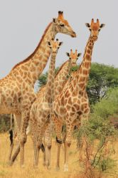 Giraffe - Shapes, Sizes and Natural Patterns by LivingWild