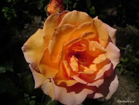 orange rose by CrisNiki