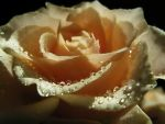 Rose serie 6 by stock1-2-3