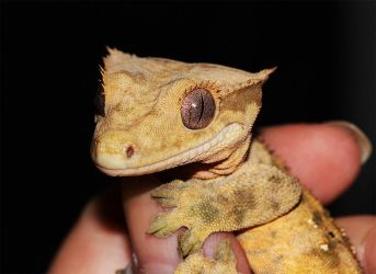 Crested Gecko by mceric