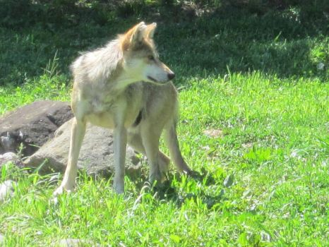 Mexican Grey Wolf I by MacabreVampire