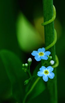 Myosotis by RichardRobert