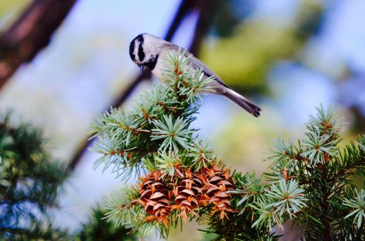 Chickadee and the three pinecones by Ahopper1996