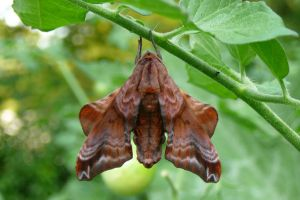 Blinded Sphinx Moth - Back view by BackyardBirder
