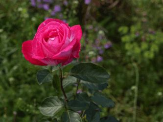 Stereoscopic rose (animated, test) by LatchDrom