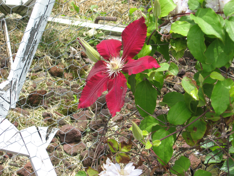 Red clematis by SmilingY