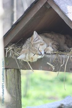 Sand cats in Parcs des Felins in France by akar091
