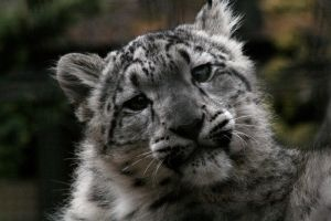Animals - Snow Leopard 5 by MoonsongStock