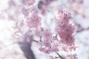 Japanese Cherry Blossoms bathed in Sunshine by enaruna