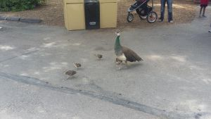 Mother Peacock with Babies by FlowersAndHorses